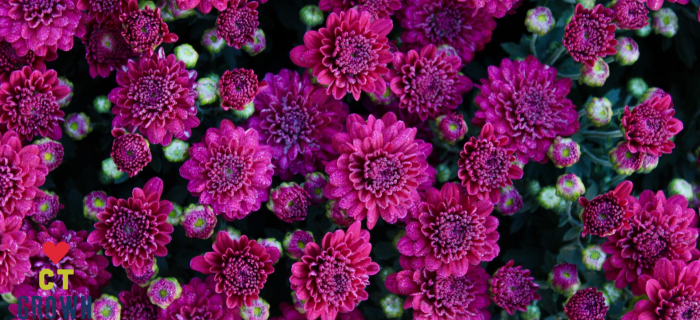 a close up of mum flowers