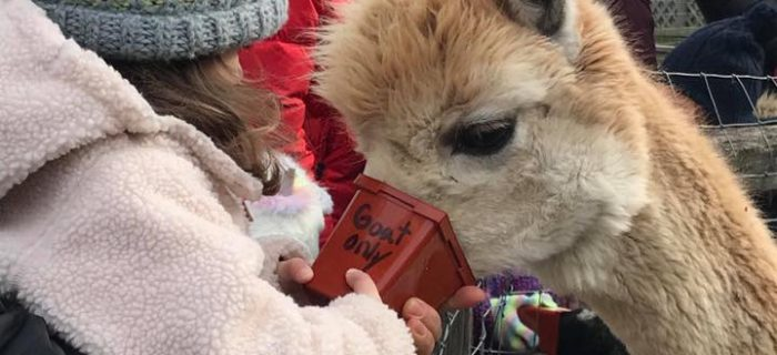 Little girl in winter coat feeding an alpaca