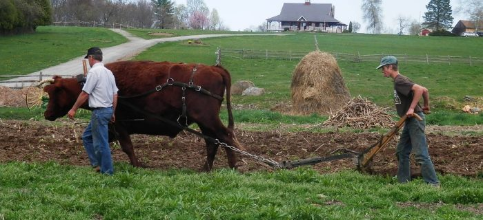 Man and teenage boy plowing field with an oxen
