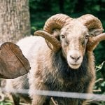 a grey and brown ram